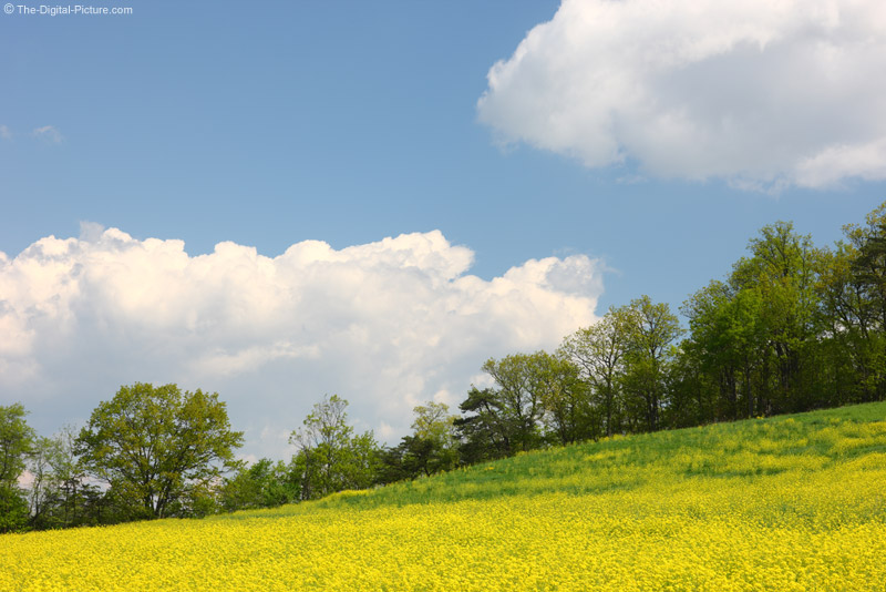 Mustard Field Picture