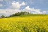 Wild Mustard Field