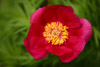 Fern Leaf Peony at 180mm