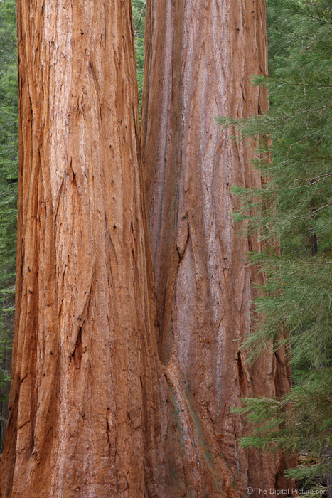 Double-Trunked Giant Seqouia Tree, Sequoia National Park