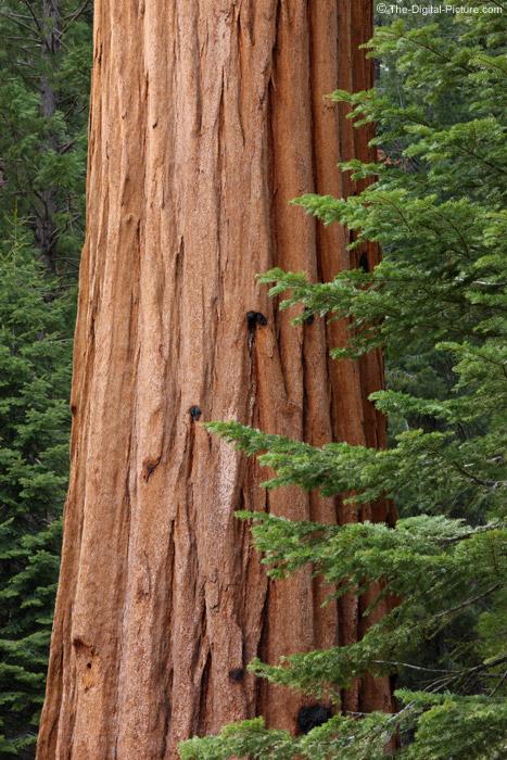 Giant Seqouia Tree, Sequoia National Park