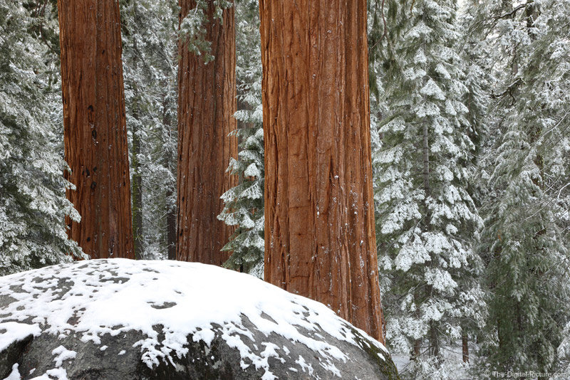 Three Sequoias, Kings Canyon National Park