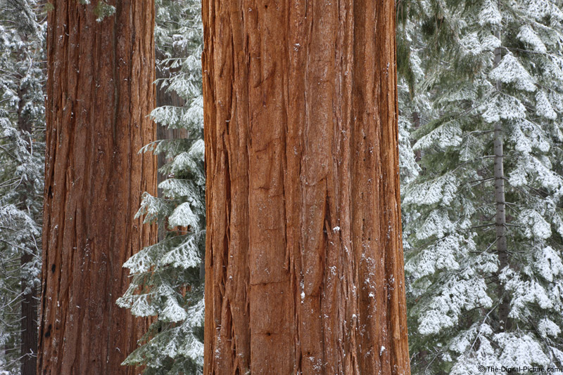 Layers of Giant Sequoia Trunks