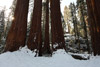 Composing Huge Trees, Kings Canyon National Park
