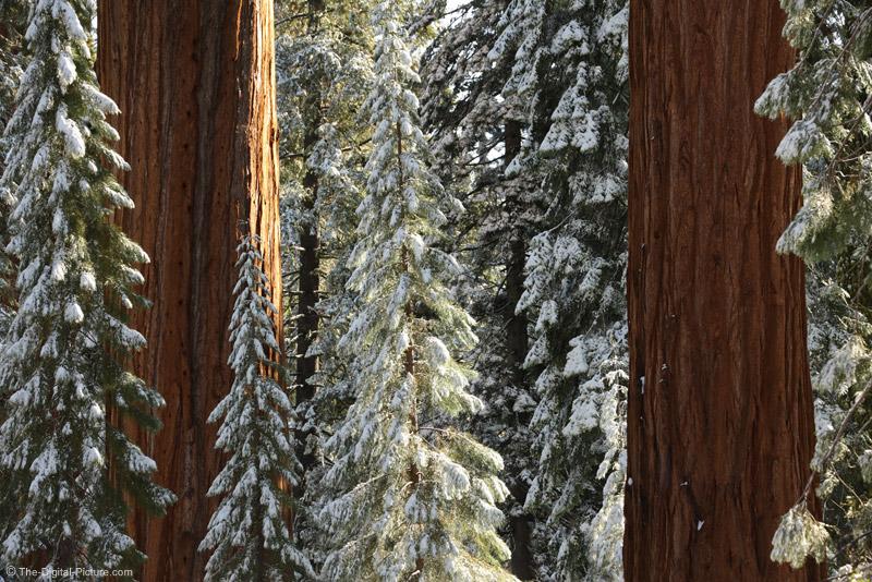 Sun on the Giant Sequoia