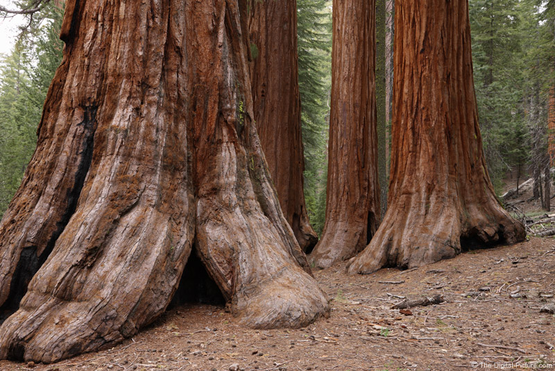 Giant Sequoias, Mariposa Grove, Yosemite National Park