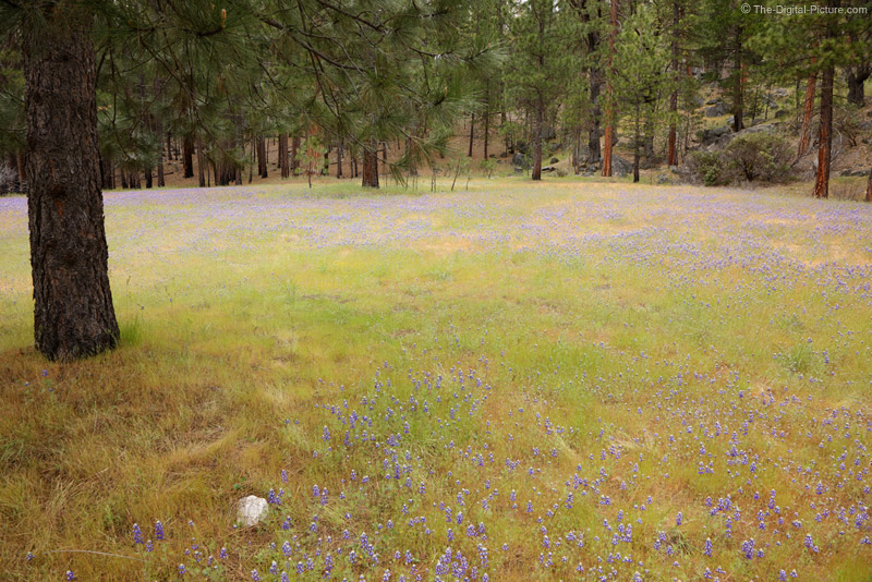 Lupine Meadow, Yosemite National Park