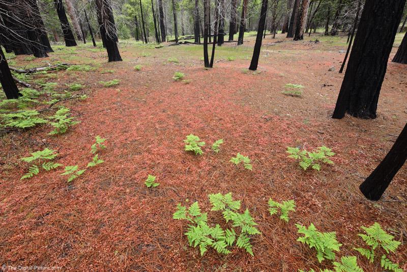 Yosemite National Park Ferns