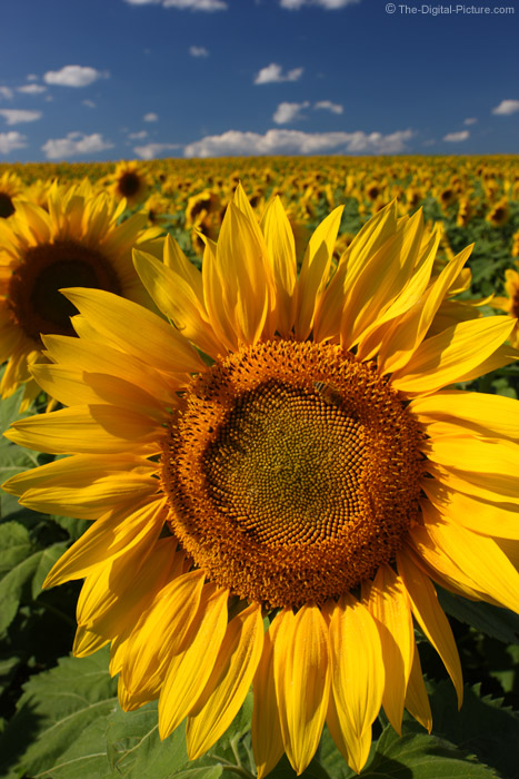 Honey Bee on Sunflower Picture