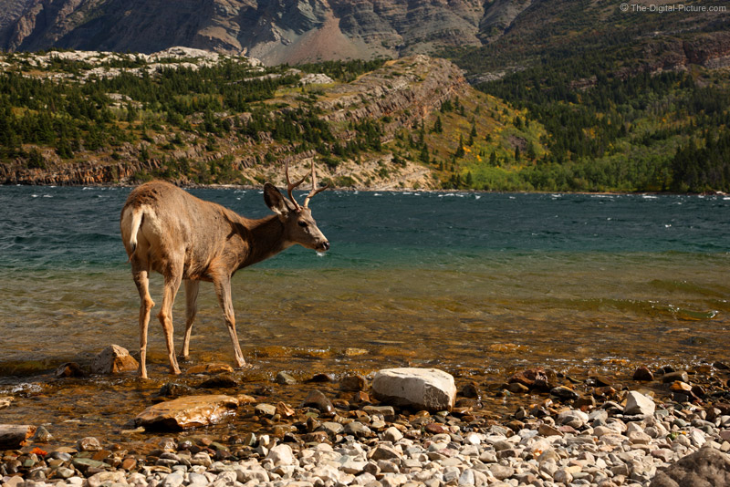 Mule Deer Buck in Upper Waterton Lake