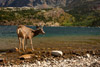 Mule Deer Buck in Upper Waterton Lake