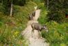 Mule Deer on the Trail, Glacier National Park