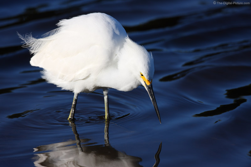 Snowy Egret Hunting for Shrimp