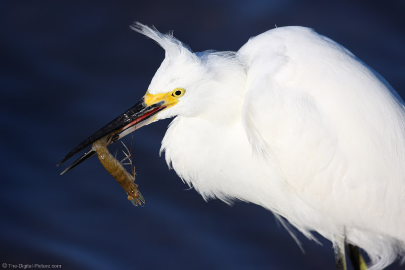 Snowy Egret with Shrimp