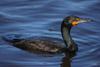 Cormorant Picture
