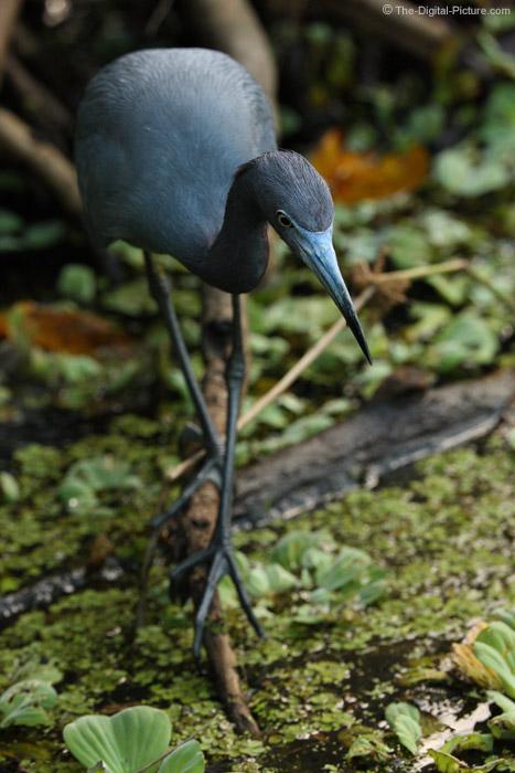 Little Blue Heron in Corkscrew Swamp Wildlife Refuge