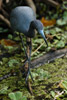 Little Blue Heron in Corkscrew Swamp Wildlife Refuge