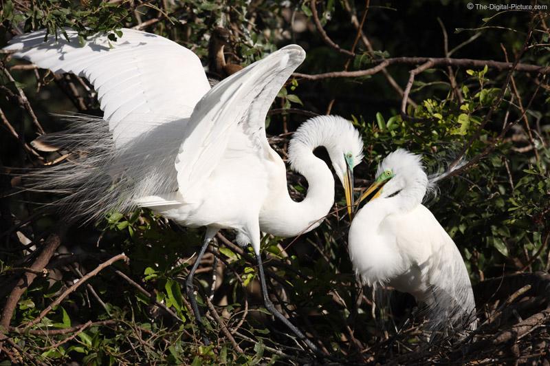 Great Egrets in Love
