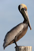 Florida Brown Pelican on a Pier