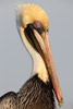 Drying Brown Pelican