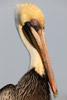 Drying Brown Pelican