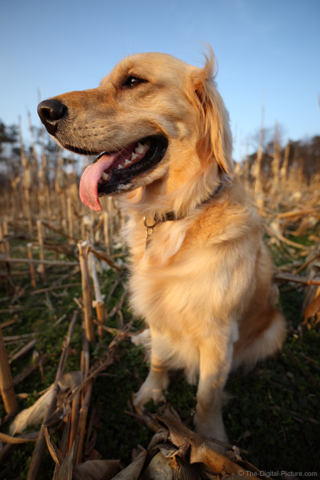 Happy Dog in Corn Field