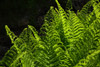 Bright Green Ferns