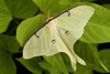 Luna Moth on Green