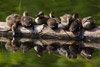 7 Cute Ducklings on a Log