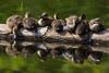 7 Cute Ducklings on a Log