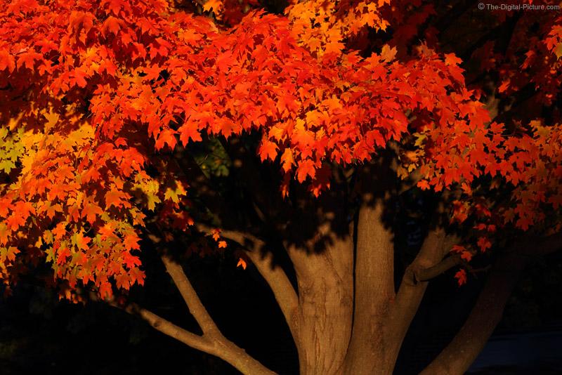 Sweet Light on Red Leaves