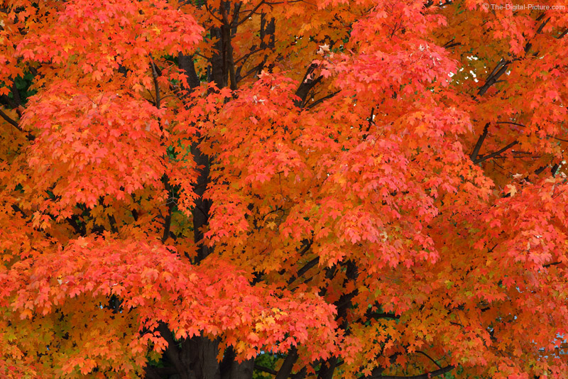 Only the Maple Tree
