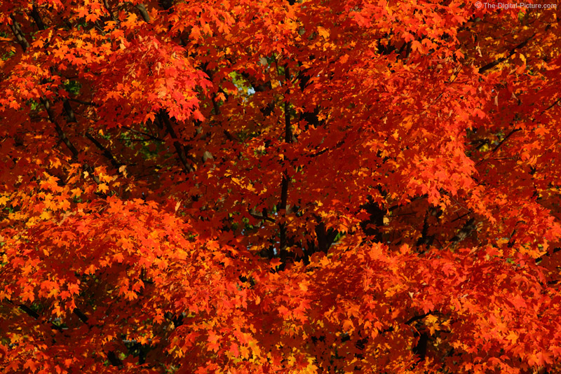 PA Sugar Maple in Red