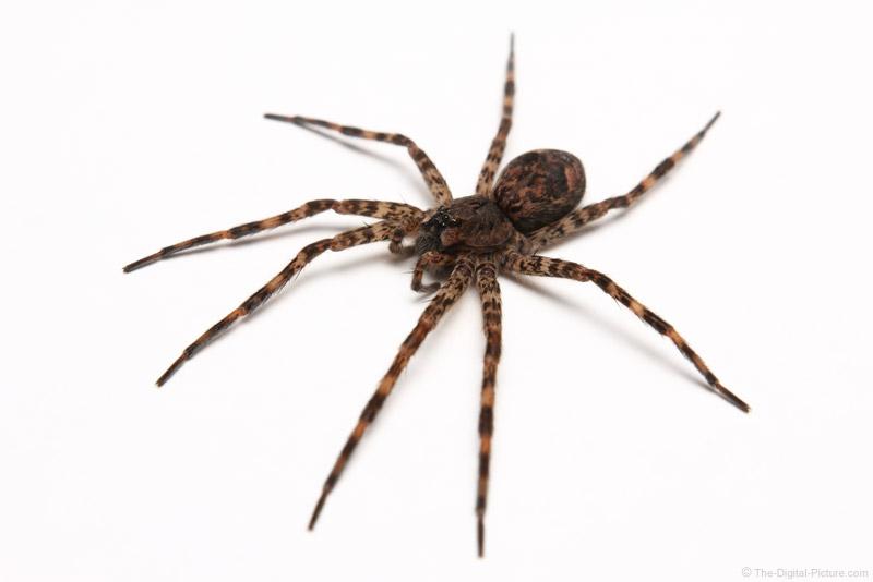Large Dark Fishing Spider