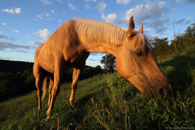 Grazing Quarter Horse in Sweet Light