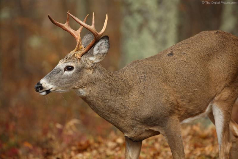 Shenandoah White-tailed Deer