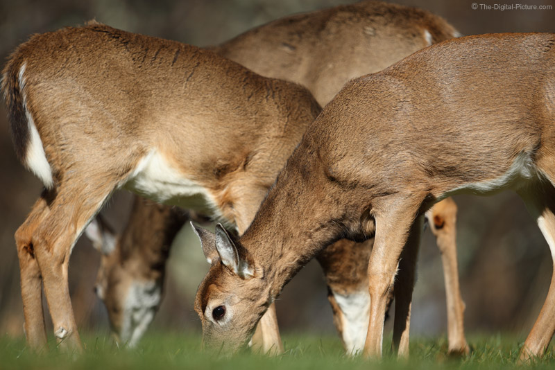 Layers of Feeding White-tailed Deer