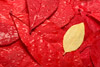 Yellow Leaf on Red