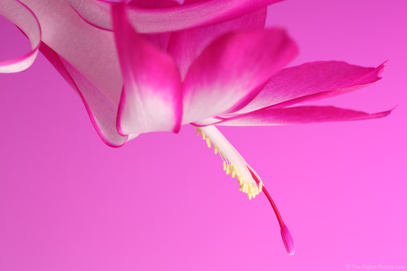 Christmas Cactus Flower on Pink