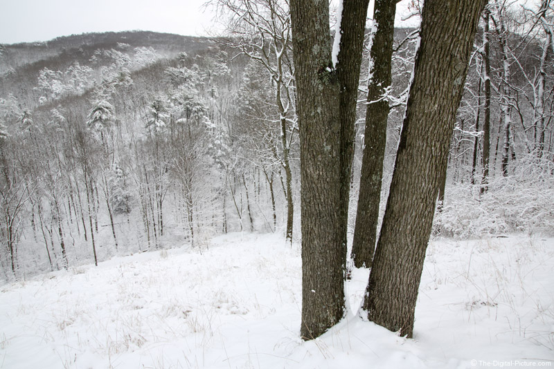 Hickory Trees in the Snow