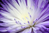 Softly-Lit Many-Petaled Purple Flower
