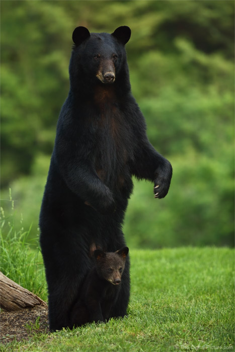 "The Definition of ""Safe"" – PA Black Bear Mother and Cub"