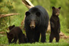 Black Bear Sow and Four Cubs