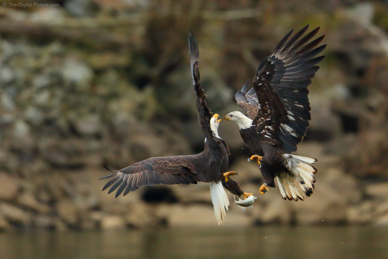 Knowing Your Subject: Mid-Air Bald Eagle Attack