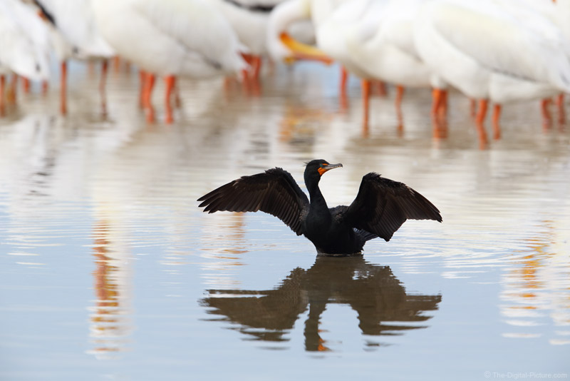 Double-Crested Cormorant Drying Wings with White Pelican Background