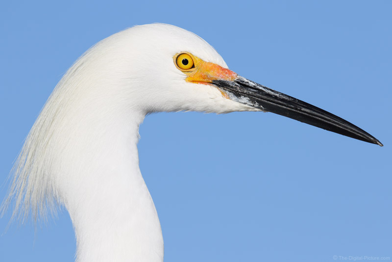 Canon EOS 7D Mark II and 100-400 L II Team Up for a Snowy Egret Headshot