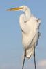 The 7D II, 100-400 L II and a Great Egret