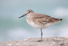 Willet Standing on One Foot