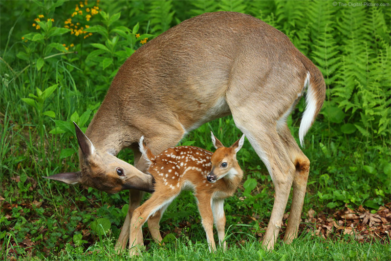 White-tailed Deer Mother and Fawn Interacting
