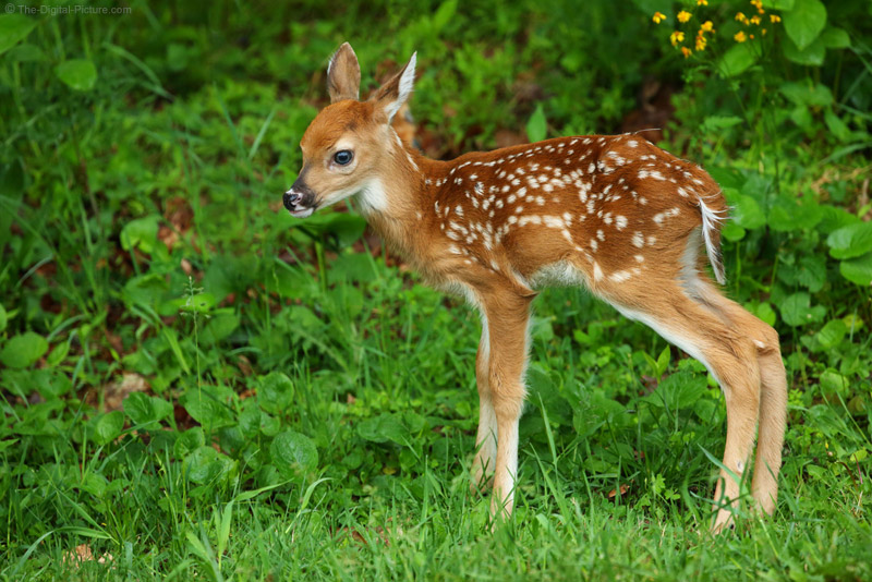 White-tailed Deer Fawn, Shenandoah National Park - photo#37